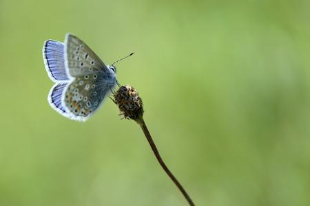 Common blue, Polyommatus icarus, sitting on blossom