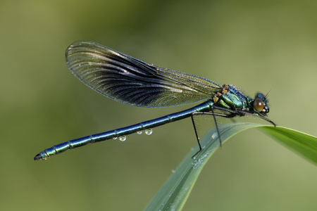 Banded demoiselle, Calopteryx splendens, sitting on blade of grass