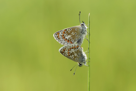 Two brown Argus, Aricia agestis, hanging on blade of grass LANG_EVOIMAGES
