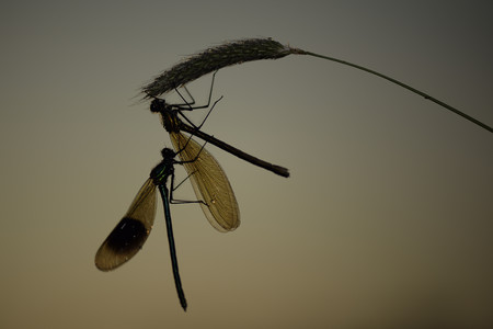 Two banded demoiselles, Calopteryx splendens, in front of brown background