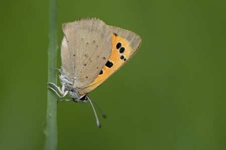 Small copper, Lycaena phlaeas, hanging at blade of grass