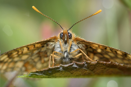 Marsh fritillary, Euphydryas aurinia, sitting on leaf LANG_EVOIMAGES
