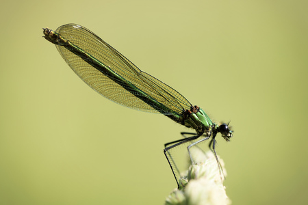 Banded demoiselle, Calopteryx splendens, sitting on twig in front of green background