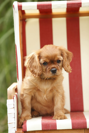 Cavalier King Charles spaniel puppy sitting in a hooded beach chair LANG_EVOIMAGES