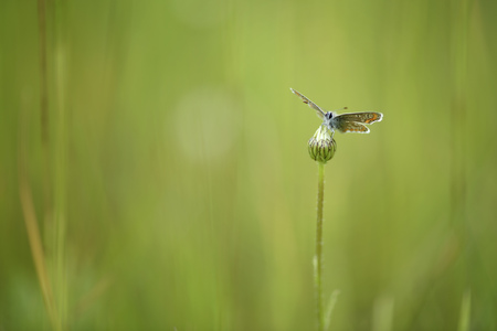Brown argus, Aricia agestis, sitting on a bud LANG_EVOIMAGES