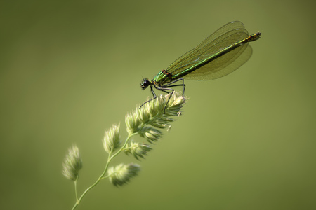 Banded demoiselle, Calopteryx splendens, sitting on blade of grass in front of green background LANG_EVOIMAGES
