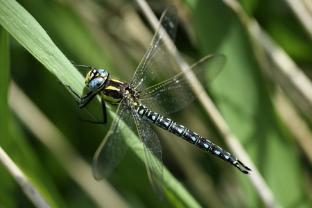 Hairy dragonfly, Brachytron pratense, sitting on blade of grass