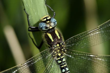 Hairy dragonfly, Brachytron pratense, close-up