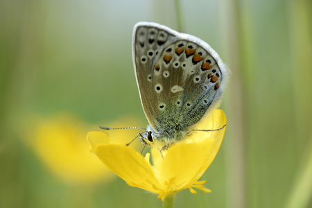 Common blue butterfly, Polyommatus icarus, sitting on yellow blossom LANG_EVOIMAGES