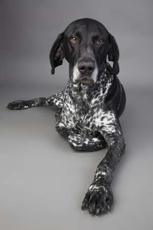 Portrait of German Shorthaired Pointer lying in front of grey background