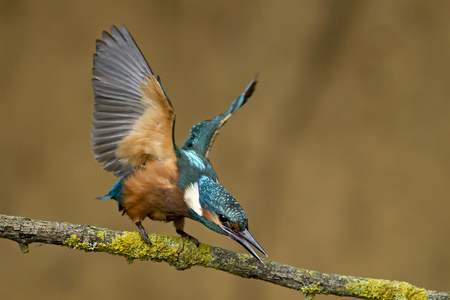 Germany, Lower Saxony, Common kingfisher, Alcedo atthis, on branch LANG_EVOIMAGES