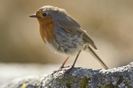 UK, Scotland, Robin perching on branch LANG_EVOIMAGES