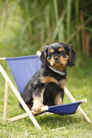 Cavalier King Charles spaniel puppy sitting in miniature deck chair on a meadow