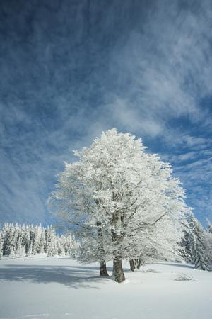 Germany, Baden-Wuerttemberg, Black Forest, Feldberg, Trees in winter