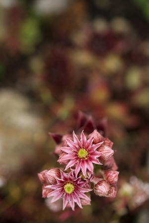 Germany, Common houseleek, Sempervivum tectorum, Flower LANG_EVOIMAGES