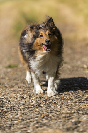 Shetland Sheepdog running on field path