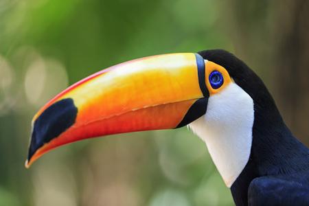 Brazil, Mato Grosso, Mato grosso do Sul, portrait of common toucan, Ramphastos toco LANG_EVOIMAGES