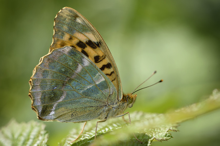 England, Silver-washed Fritillary, Argynnis paphia LANG_EVOIMAGES