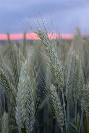 Germany, Baden-Wuerttemberg, sunset with barley spikes in the foreground