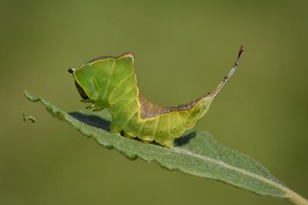England, Puss Moth, Cerura vinula, Caterpillar LANG_EVOIMAGES