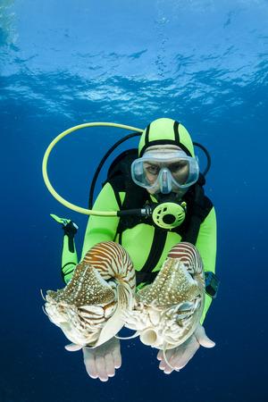 Oceania, Palau, Diver watching Palau nautilusses, Nautilus belauensis, in Pacific Ocean