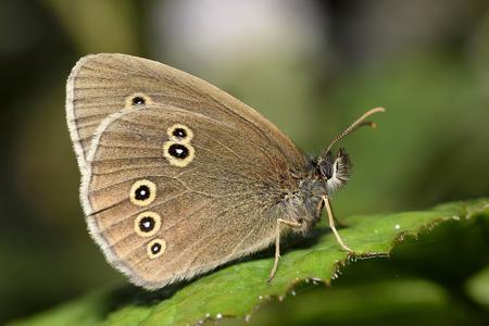 Ringlet, Aphantopus hyperantus, sitting on leaf