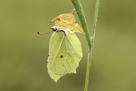 England, Brimstone, Gonepteryx Rhamni