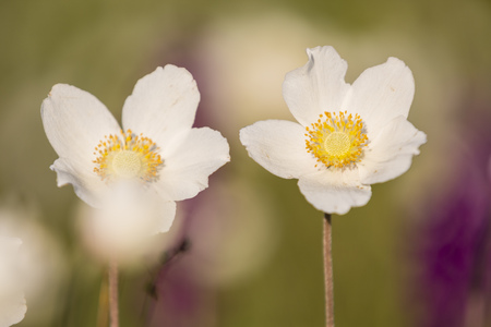 Two Blossoms Of Snowdrop Anemones, Anemone Sylvestris LANG_EVOIMAGES