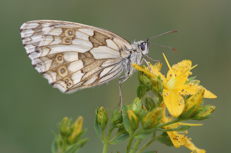 Marbled White, Melanargia Galathea, On A Yellow Blossom In Front Of Green Background