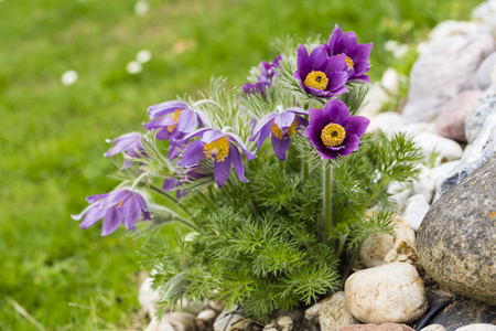 Germany, Common Pasque Flower, Pulsatilla Vulgaris LANG_EVOIMAGES