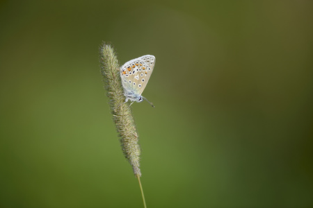 England, Common Blue Butterfly, Polyommatus Icarus