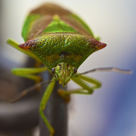 Hemipterans, Hemiptera, Close-Up LANG_EVOIMAGES