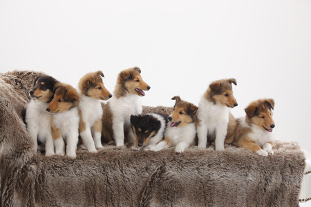 Eight Rough Collie Puppies Sitting On A Couch In Front Of White Background LANG_EVOIMAGES