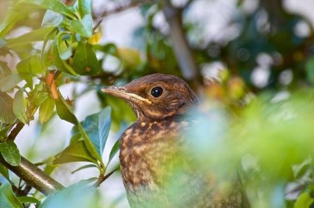 Germany, Hesse, Young Blackbird, Turdus Merula