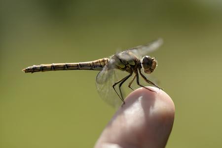 England, Common Darter, Sympetrum Striolatum, Sitting On Finger