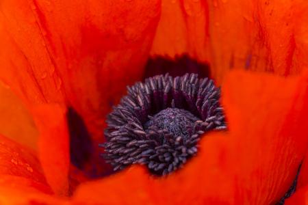 England, Oriental Poppy, Papaver Orientale, Close-Up LANG_EVOIMAGES