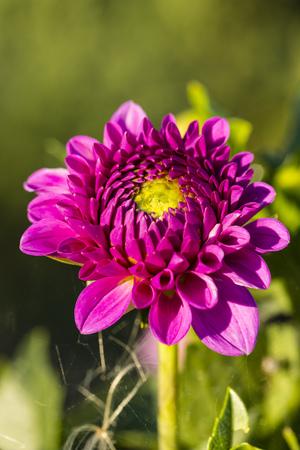 Blossom Of Pink Dahlia, Dahlia, At Sunlight