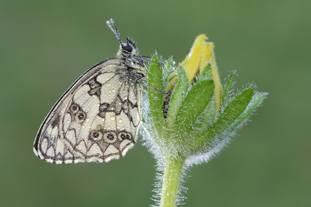 Marbled White, Melanargia Galathea, On A Blossom In Front Of Green Background