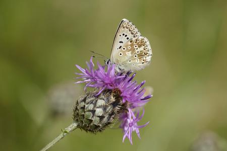 Chalkhill Blue, Polyommatus Coridon, On Blossom Of A Thistle