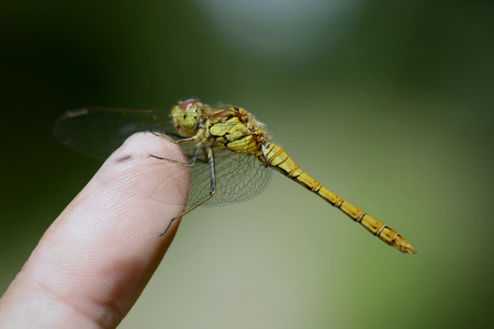 Common Darter, Sympetrum Striolatum, Sitting On Finger Of A Man LANG_EVOIMAGES