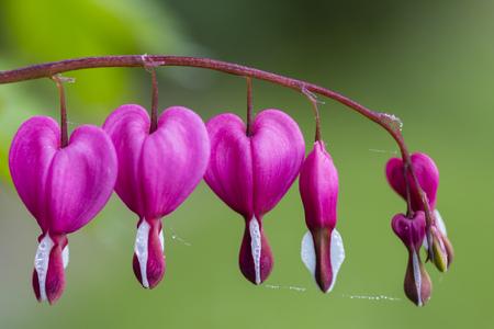 Germany, Lyre-Flowers, Lamprocapnos Spectabilis LANG_EVOIMAGES