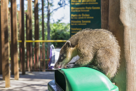 Brazil, Parana, Iguazu National Park, South American Coati, Nasua Nasua, Sitting On A Waste Bin Licking Off A Paper LANG_EVOIMAGES