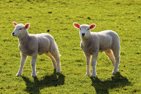 Two Lambs Standing On A Meadow LANG_EVOIMAGES