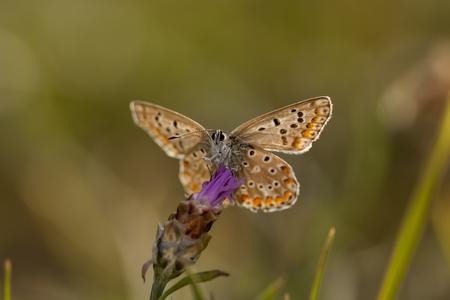 Croatia, Blue Butterfly, Lycaenidae, On Rockrose