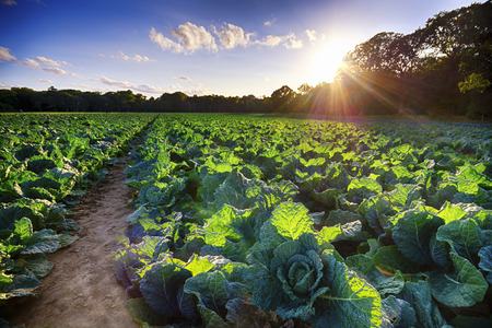 United Kingdom, Scotland, East Lothian, Field, Savoy Cabbage