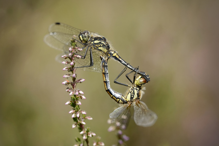 Two Black Darters