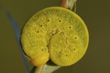 England, Willow Sawfly, Cimbex Luteus
