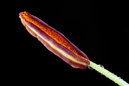 Stamen Of A Lily, Lilium, In Front Of Black Background