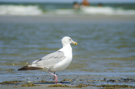 Germany, Lower Saxony, East Frisian Island, Juist, Seagull LANG_EVOIMAGES