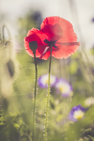 Germany, Bavaria, Poppies, Papaver Rhoeas, On Meadow LANG_EVOIMAGES